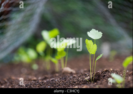 Pastinaca saliva. Parsnip seedlings under chicken wire in a vegetable garden - Stock Photo