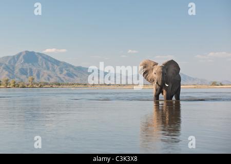 A bull elephant walks through the Zambezi river in Mana Pools National Park - Stock Photo