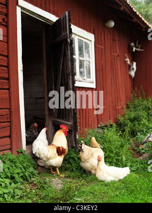 Chickens outside barn - Stock Photo