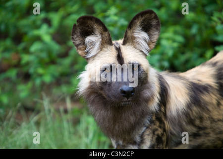 South Africa, Pretoria. One African Wild Dog, also Painted Hunting Dog, Lycaon pictus. Captivity. - Stock Photo