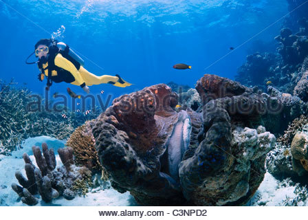 Giant clam Tridacna Gigas on The Great Barrier Reef Australia - Stock Photo