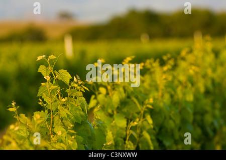 Wine grape vines in Vineyards in the Santa Ynez Valley, Santa Barbara County, California - Stock Photo