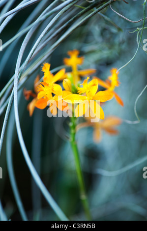 Epidendrum elongatum. Red Crucifix Orchid - Stock Photo