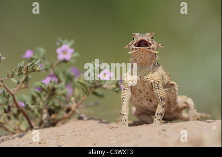 Texas Horned Lizard (Phrynosoma cornutum), adult standing up, Laredo, Webb County, South Texas, USA - Stock Photo