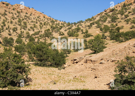 Mountain slope over-grown with Argan trees (Argania spinosa) in the Anti-Atlas mountains in southwest Morocco. - Stock Photo