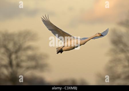 BEWICK'S SWAN CYGNUS COLUMBIANUS IN FLIGHT - Stock Photo
