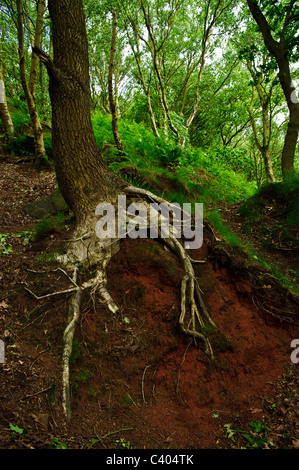 Soil erosion exposes the roots of a tree on the side of a hill in Frodsham Hill Wood. Picture by Julie Edwards - Stock Photo