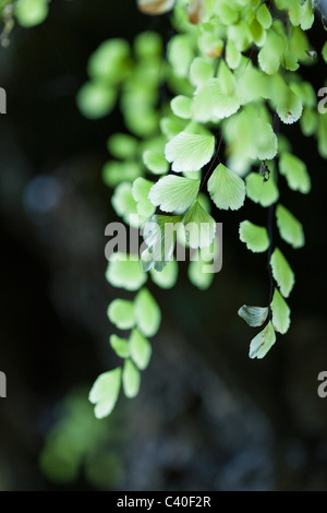 Flora inside San Gabriel Limestone Cave, Los Haitises National Park, Dominican Republic - Stock Photo