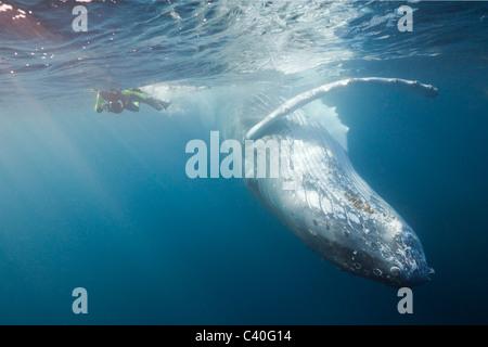 Snorkeler and Humpback Whale, Megaptera novaeangliae, Silver Bank, Atlantic Ocean, Dominican Republic - Stock Photo