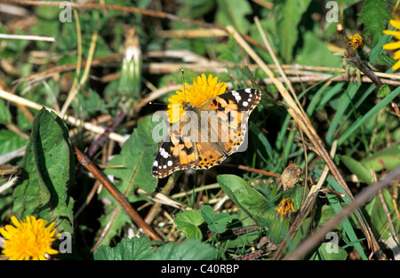 Painted Lady, Cynthia cardui, Nymphalidae, Butterfly, Valais, Switzerland, insects - Stock Photo
