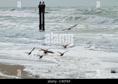 Birds in flight at Moss Landing State Beach, Monterey Coast, California - Stock Photo