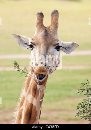 african giraffe in natural environment up close  - Stock Photo
