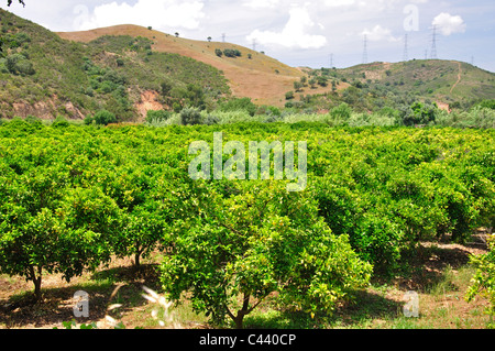 Orange grove in valley, near Silves, Faro District, Algarve Region, Portugal - Stock Photo
