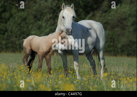 Connemara Pony (Equus ferus caballus), mare with foal on a meadow. - Stock Photo