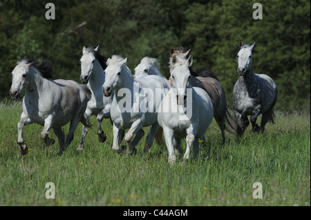 Connemara Pony (Equus ferus caballus), herd in gallop on a meadow. - Stock Photo