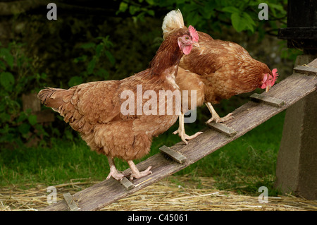 Chickens moving towards coop - Stock Photo