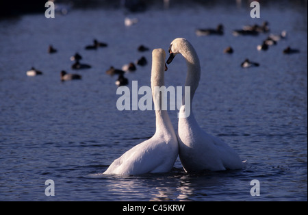 White Swan couple in love play, ( Cygnus olor ) - Stock Photo