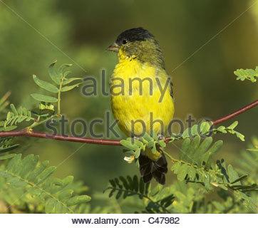 Lesser Goldfinch Carduelis psaltria perched branch mesquite Arizona - Stock Photo