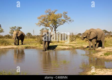 Afrikanische Elefanten (Loxodonta africana) beim Trinken am natürlichen Wasserloch, Savuti, Botswana, Afrika - Stock Photo