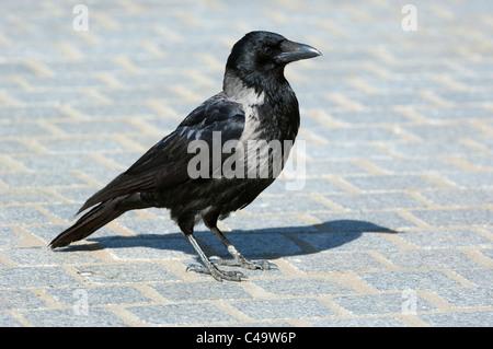 Hooded Crow (Corvus corone cornix, Corvus cornix) standing on paving stones. - Stock Photo