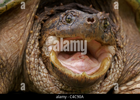 Snapping Turtle (Chelydra serpentina) - New York - Male - Found in Eastern US and Southeastern Canada to Rocky Mountains - Stock Photo