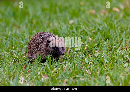 An adult hedgehog foraging on the field (Aquitaine - France). Hérisson adulte cherchant sa nourriture sur une pelouse - Stock Photo
