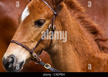 Portrait of Oldenburg Stallion Foal with Mare at the 2011 Royal Cornwall Showground Show, Wadebridge, Cornwall County, - Stock Photo