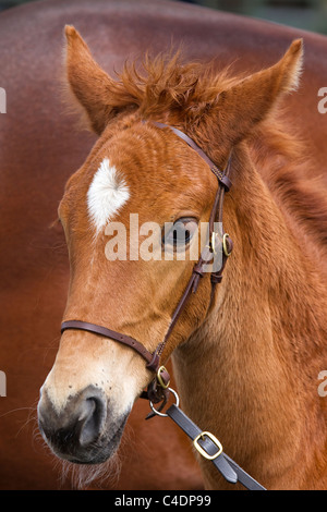 Portrait of Oldenburg Stallion purebred Foal with Mare at the 2011 Royal Cornwall Showground Show, Wadebridge, Cornwall - Stock Photo