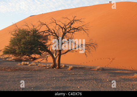 Dune 45 in the Namib desert - Namibia. Amongst the tallest sand dunes in the world. - Stock Photo
