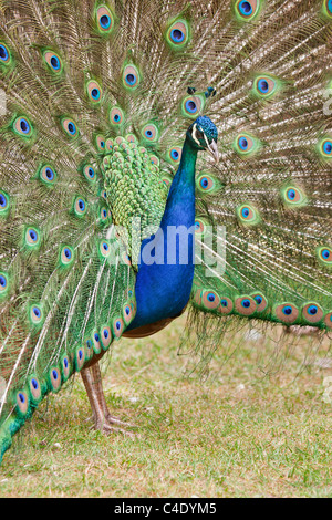 Male peacock courtship display - Stock Photo