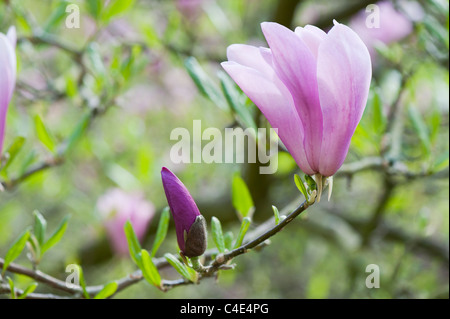 Magnolia 'Randy' flower opening in spring. UK - Stock Photo