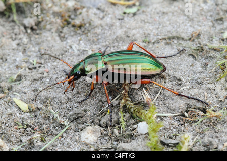 Golden Ground Beetle (Carabus auratus) - Stock Photo