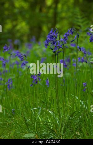 English bluebells Hyacinthoides non-scripta close-up Shropshire England UK GB British Isles - Stock Photo