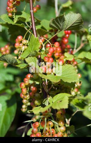 Organically grown redcurrant bush with new berries taken locally in garden in Bristol in summer - Stock Photo