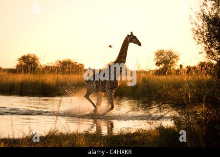 Giraffe (Giraffa camelopardalis) Running over a Flooded area in the Okavango Delta, Botswana - Stock Photo