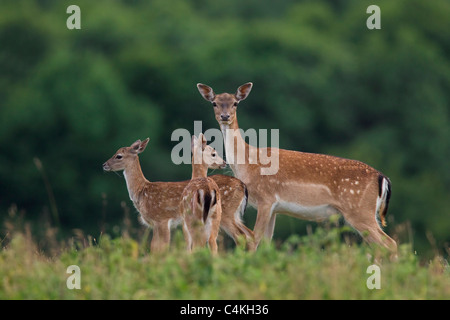 Fallow deer (Cervus dama / Dama dama) doe with two fawns in summer, Denmark - Stock Photo