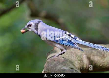 Blue jay (Cyanocitta cristata) with a nut. - Stock Photo