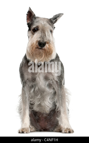 Standard Schnauzer, 7 years old, sitting in front of white background - Stock Photo