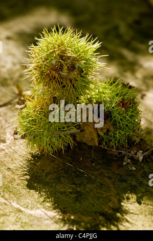 Spiky Horse Chestnuts - Stock Photo
