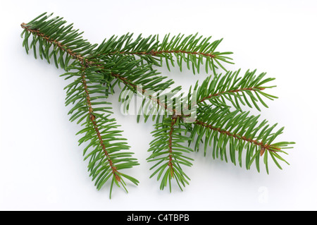 Blue Spruce (Picea pungens), twig. Studio picture against a white background. - Stock Photo