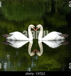 Mute swans (Cygnus olor) touching beaks, forming heart shape - Stock Photo