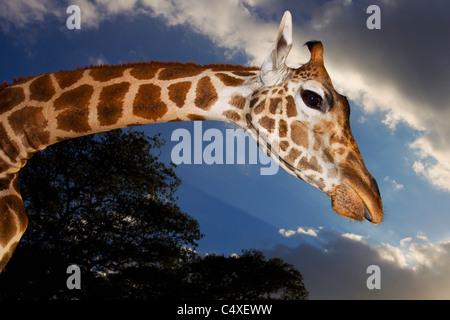 Rothschild Giraffe (Giraffa camelopardalis rothschildi) Is one of 9 subspecies of giraffe.Giraffe Manor Kenya. Dist. - Stock Photo