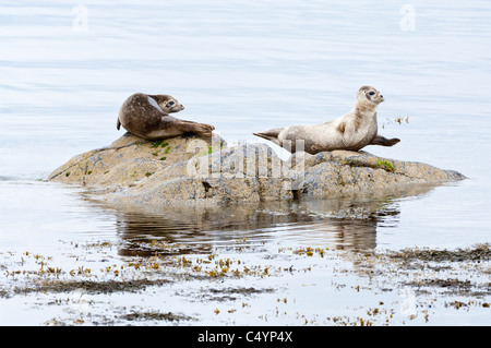 Common Seal (Phoca vitulina) adults resting on rock seashore Norwick Unst Shetland Subarctic Archipelago Scotland - Stock Photo