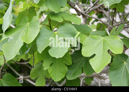 Common Fig, Ficus carica, Moraceae. Mediterranean, South West Asia. - Stock Photo