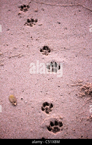 Hyena tracks footprints in sand at beach Saadani National Park Tanzania Africa - Stock Photo
