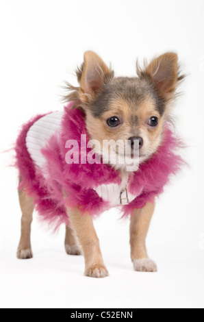 Chihuahua in a fluffy white and pink jacket - Stock Photo