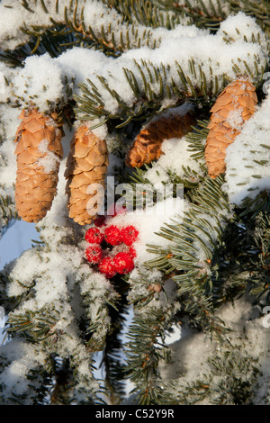 Close up of Red Elderberries and cones on snow-covered evergreen tree, Alaska, Winter - Stock Photo