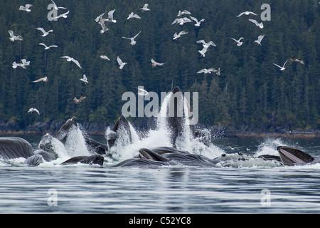 Humpback whales bubble net feeding for herring in Chatham Strait, Inside Passage, Alaska - Stock Photo