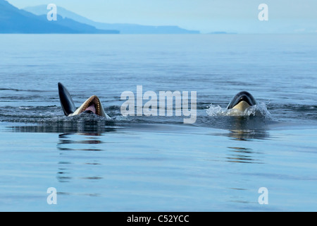 An orca rolls onto its back and opens it mouth as it plays at the surface in Chatham Strait, Inside Passage, Souteast - Stock Photo