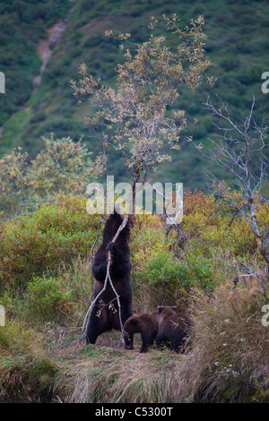 Brown Bear sow rubs against a tree to take care of an itch while cubs look on, Kinak Lagoon,  Katmai National Park, - Stock Photo